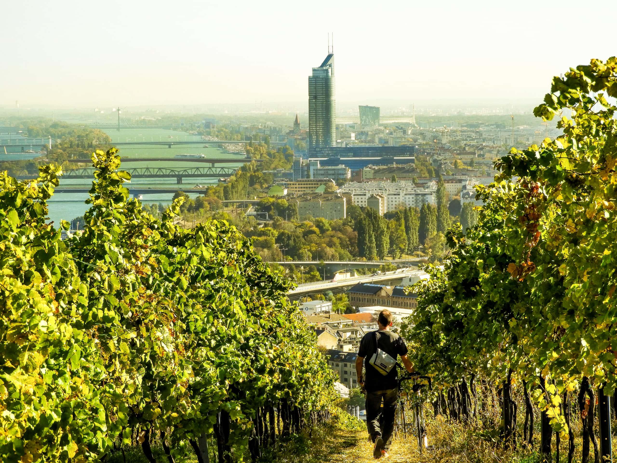 Mann geht durchs Weinfeld am Nussberg.